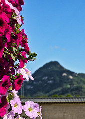 Korea at its best (Matthew P Sharp) Tags: korea seoul flower mountain asia nature city canoneos80d canon 80d
