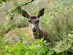 Red deer (deannewildsmith) Tags: deer reddeer chasewater staffordshire mammal animal earthnaturelife