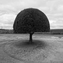 Mintaro Icon (Andrew_Dempster) Tags: sa bw blackandwhite tree mintaromaze australia mintaro blackwhite topairy sculpturedtree southaustralia tiretreadmarks