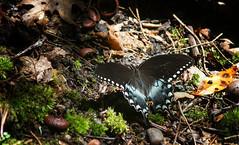 spicebush swallowtail (Black Hound) Tags: sony a500 minolta shenandoahnationalpark nationalparkservice butterfly spicebushswallowtail