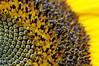 Hi summer ! (johan van moorhem) Tags: belgium belgique belgië flanders vlaanderen westflanders westvlaanderen beernem home thuis garden tuin zonnebloem sunflower summerof2017