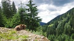 Relaxation (kud4ipad) Tags: 2017 ukraine zakarpattia animals bear landscape mountain tree