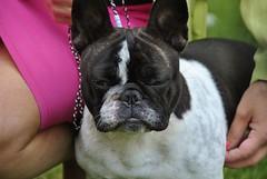19390495_1346222722100178_7415353825586520031_o (Anastasia Neto) Tags: frenchbulldog frenchies frenchie funnydog frenchbulldogs funnydogs petmodel puppies petphotography petphotographer dog dogphotography dogmodel dogs dogphotographer cutepuppies cutepuppy dogshow