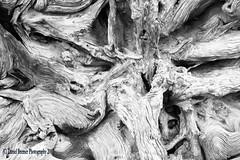 Bristlecone #3 (Vulperine) Tags: texture ilford panf analog film 35mm danielbremer vulperine bryce national canyon park utah pine tree bristlecone bw iso50 lighting hard blur photo scan dektol dodge burn process developer fixer stopbath contrast focus portfolio monochrome old new nature fall summer meta context conceptual modern design style unfound view blackandwhite blackwhite natur natural scene composition frame dof gallery fine art