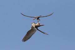 Peregrine falcons (territorial battle) 9P1A0427a (Adrian Dancy) Tags: nature wildlife wildbird peregrinefalcon falcoperegrinus falcon peregrine persecuted persecution birdsinflight battle fight adriandancy bluesky