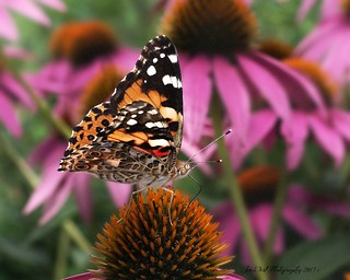 Beautiful Wings-Painted Lady