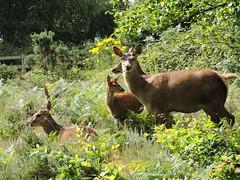 Red deer (deannewildsmith) Tags: deer reddeer chasewater animal mammal staffordshire