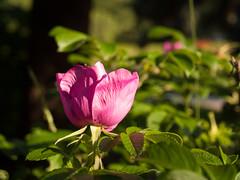 P7160145-70 (ПавелБалин) Tags: foliage olympus e500 1442 ccd colors цветы роза rose flower