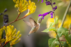 Hummer in Tube Flower  [In Explore 7/13/17] (helenehoffman) Tags: bird sandiegozoo hummingbird pollinator aves conservationstatusleastconcern animal specanimal ngc selasphorus npc