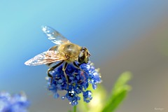 Kiareimages d'estate (kiareimages1) Tags: insetti insects insectes flies mosche mouches images imagery immagini imagespastel colors macro macroflowers macrophoto sky ciel cielo ligthing summer