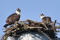 120 (GJSmith Photography) Tags: osprey gjsmith birds nikon d750 200m 500m clutch nest birding 500mm uper telephoto