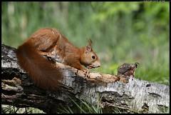 _DSK8982-09-05-2017 - scoiattolo rosso (r.zap) Tags: sciurusvulgaris scoiattolorosso rzap parcodelticino