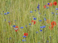 Elément terre * (Titole) Tags: demideuil échiquier field grass cornflower poppies butterfly colorful titole nicolefaton
