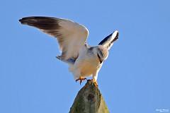 Peneireiro cinzento - Black-shouldered kite - Elanus caeruleus (Yako36) Tags: portugal peniche ferrel ave bird birdwatching nature natureza nikon200500 nikond7000