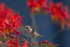 Hummingbird haven (Jan.Timmons) Tags: select rufoushummingbird femalehummingbird selasphorusrufus howardmarsh jantimmons birdinflight crocosmia bluehousehues domingossundaysfauna 7dwf krokos