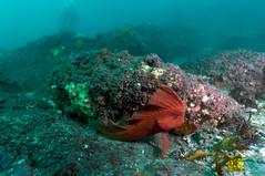 Red Indian Fish (Corey Hamilton) Tags: bareisland scubadiving