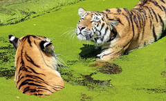 siberian tiger duisburg BB2A0271 (j.a.kok) Tags: tijger tiger pantheratigrisaltaica duisburg animal asia azie mammal zoogdier dier kat cat