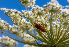 Bug's hideout (FocusPocus Photography) Tags: käfer insekt bug beetle insect tier animal blume wildblume flower wildflower