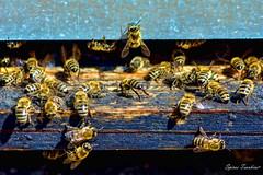 Μέλισσες και Μελίσσια !!! (Spiros Tsoukias) Tags: hellas ελλάδα μακεδονία εξοχή λουλούδια βουνά κάμποσ μέλισσεσ κυψέλεσ μέλι greece macedonia countryside flowers mountains plain bees hives honey grecia campagna fiori montagne pianure leapi alveari ilmiele griechenland mazedonien landschaft blumen berge ebenen bienen bienenstöcke honig греция македония сельскаяместность цветы горы равнины пчелы ульи мед