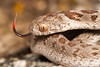 Dasypeltis scabra - Rhombic Egg Eater. (Tyrone Ping) Tags: dasypeltis scabra rhombic egg eater cute reptile reptiles snake snakes harmless westerncape cape town canon canon7d 100mmmacrof28 closeup macro mt24ex tyroneping wwwtyronepingcoza wild wildlife wildherps wildanimals natural nature wilderness nonvenomous ngc africa african amazing southafricanreptiles field fieldherping
