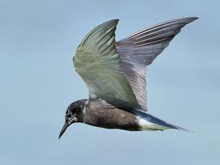 Guifette noire --- Black tern ---  Fumarel común