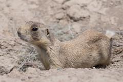 White-Tailed Prairie Dog - Cynomys leucurus (J Centavo) Tags: whitetailed prairie dog cynomys leucurus