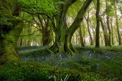 'Bluebell Woods' - Scotland (Gavin Hardcastle - Fototripper) Tags: scotland forest beech moss bluebell woods uk united kingdom fototripper gavinhardcastle