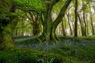 'Bluebell Woods' - Scotland