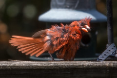 Trying to Cool Off (Karol A Olson) Tags: cardinal bird fluffedfeathers coolingoff hot humid disheveled