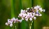 Bee & Flower (jpteitti) Tags: summer bee nature flower uutela outdoor helsinki flowersplants finland helsingfors uusimaa fi