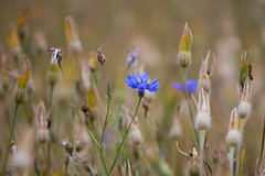 Cornflower (Centaurea cyanus) flower and seedheads (Ian Redding) Tags: british centaurea centaureacyanus english european uk beautiful bloom blue bright centaury cornflower flora flowers garden gardening meadow nature petals plant plants seedheads sepals wildflowers wildflower wildlife