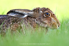 Brown Hare (Steve Ward Nature) Tags: