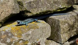 Blue Viviparous lizard yawning!