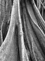 Tree Roots (B&W) (jonhuskisson) Tags: tree roots nature jungle forest costarica centralamerica travel backpacking blackandwhite blackwhite bw monochrome