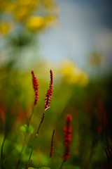 Persicaria and sunflowers (tonybill) Tags: flowers gardens july miscellaneous rhs rhswisley sonya7ii sunshine surrey wisley zeissaposonnar135mmf2 bokeh