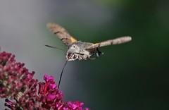 Macroglossum stellatarum (Hugo von Schreck) Tags: hugovonschreck macroglossumstellatarum taubenschwänzchen butterfly moth macro makro schmetterling falter insect insekt hummingbirdhawkmoth canoneos5dsr