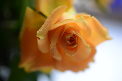 Golden Blooms (Ptolemy the Cat) Tags: roses yellow blooms flowers rose nature bokeh nikond600 tamronf2890mmmacrolens
