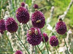 Bienen geben sich ein Rendezvous. (magritknapp) Tags: königlichegartenakademieberlin blumen bienen stelldichein flower bees tryst fleurs abeilles rendezvous galant flores abejas cita abelhas encontro fiori api appuntamento