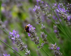 Busy Buzzy Bee (35mmMan) Tags: bee buzz busy lavender bumble pollen nature macro