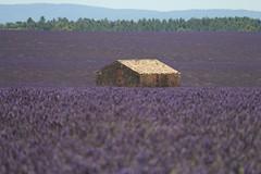 09IMG_2072 (Toulon1984) Tags: valensole lavande nature champs
