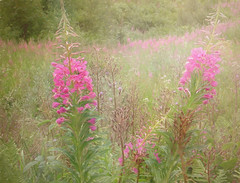 A beloved child has many names. (BirgittaSjostedt_away until 24 Febrtuary) Tags: flower nature chamerionangustifolium fireweed greatwillowherb rosebaywillowherb magicunicornverybest ie birgittasjostedt