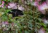 Papillon 14 (florence.bahier) Tags: papillon noir fleur rose albizia butiner