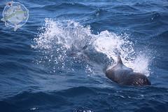 Whale Watching Street of Gibraltar (Yakari-Travel) Tags: orca free willy pilotwal grindwal spanien tarifa gibraltar yakari killerwal blackfish whalewatching walbeobachtung marokko marocco europa afrika turmares malaga kampaoh camping