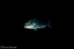 IMG_5988 (davide.clementelli) Tags: scuba underwater underwaterlife diving dive immersione portofino colori colors colore color fishes fish pesci dentex dentice