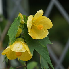 abutilon in yellow - explored (quietpurplehaze07) Tags: abutilon yellow garden friend