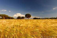 Golden Harvest (Johan Konz) Tags: golden harvest field afternoon sunlight row green trees blue sky white clouds vada tuscany italy landscape outdoor rural nikon d90