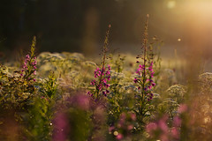Summer Nights (Jon Rikberg) Tags: finland suomi nature flowers flora sunset nightless night summer seasons scandinavia meadow luonto niitty kuhmoinen äng blommor mjölkört duntrav maitohorsma