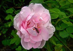 My Mother's Rose (Katy on the Tundra) Tags: