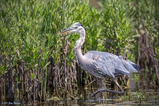 Great Blue Heron (Ardea herodias) - Pond C - San Joaquin Wildlife Sanctuary
