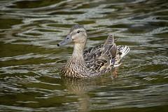 'Mama' (Canadapt) Tags: duck mallard mother lake reflections waves keefer canadapt
